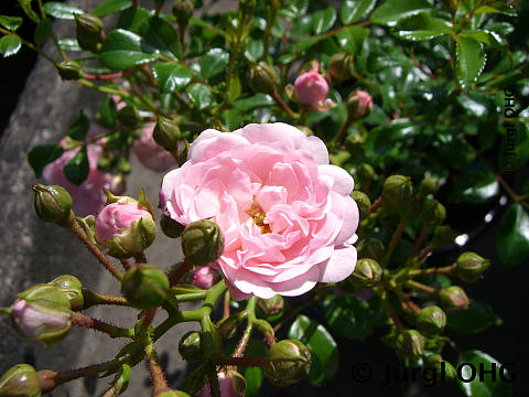 Rosa 'The Fairy'®, Bodendeckerrose 'The Fairy'®