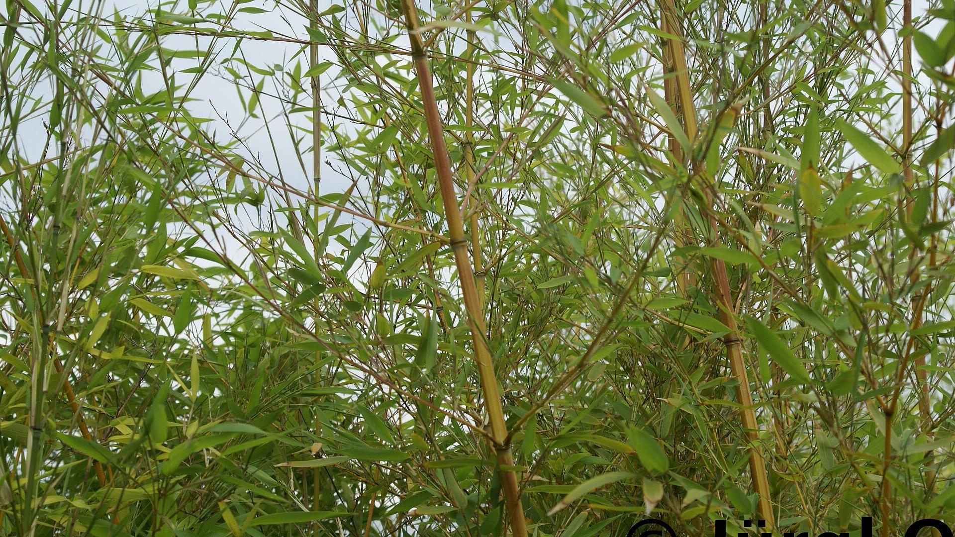 Bambus Gräser