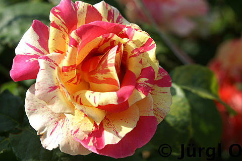 Rosa 'Claude Monet'®, Malerrose 'Claude Monet'®