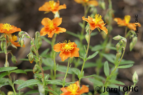 Helianthemum x cultorum 'Watergate Orange', Sonnenroeschen