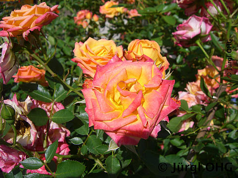 Rosa 'Little Sunset'®, Zwergrose 'Little Sunset'®
