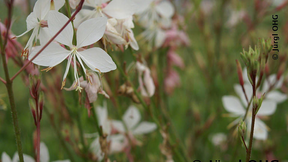 Gaura lindheimeri 'Whirling Butterfly', Prachtkerze 'Whirling Butterfly'