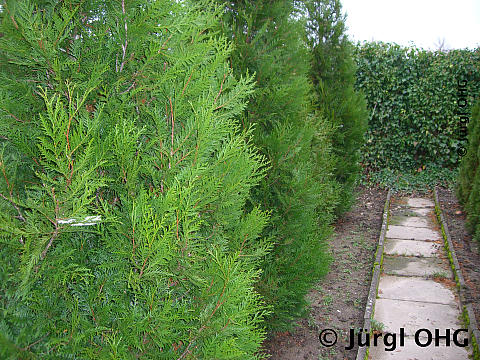 thuja plicata 39 atrovirens 39 gr ner riesen lebensbaum 39 atrovirens 39. Black Bedroom Furniture Sets. Home Design Ideas
