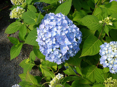 Hydrangea macrophylla Endless Summer® 'The Bride', Ballhortensie Endless Summer® 'The Bride'