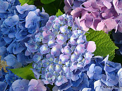 Hydrangea macrophylla 'Forever and Ever'®, Ball-, Bauernhortensie 'Forever and Ever'®