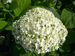 Hydrangea arborescens 'The Strong Annabelle'® Incrediball®, Freilandhortensie 'The Strong Annabelle'® Incrediball®