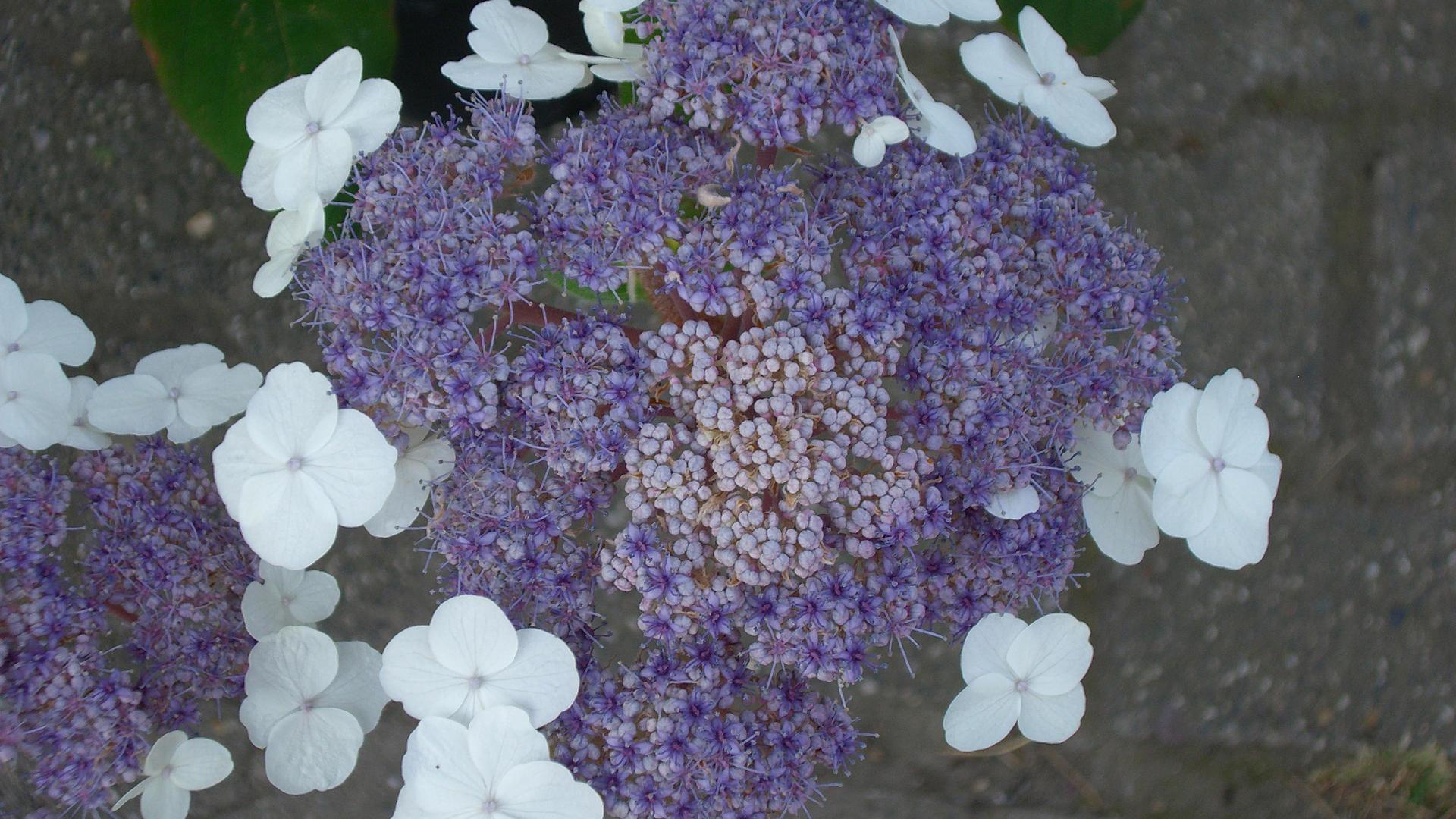 bezeichnung hydrangea aspera 39 macrophylla 39 riesenblatthortensie 39 macrophylla 39. Black Bedroom Furniture Sets. Home Design Ideas