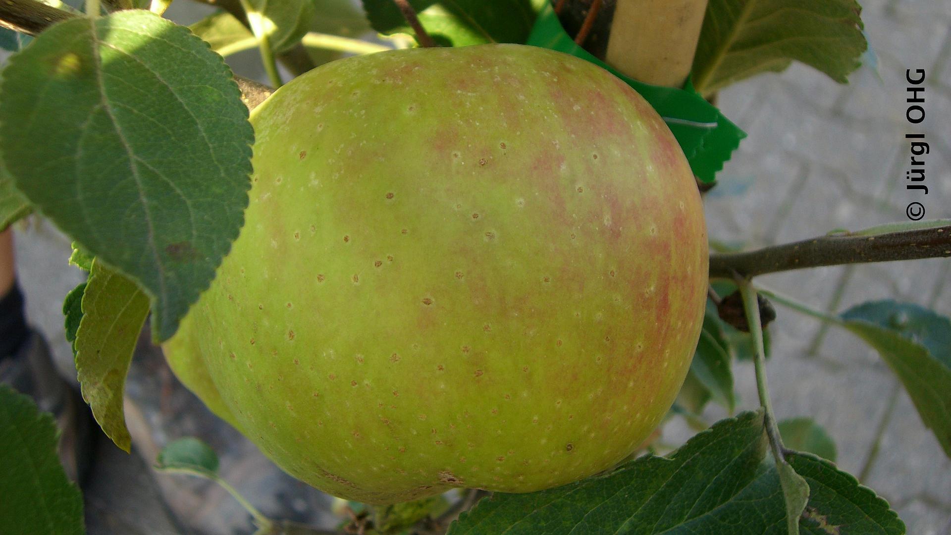 cox orange befruchter
