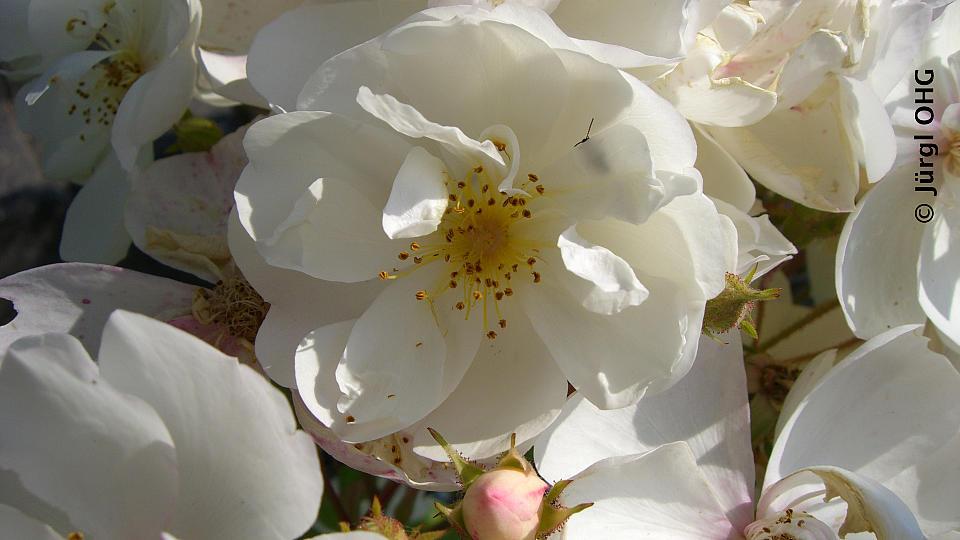 rambler rosen sind starkw chsige kletterrosen zur fassadenbegr nung oder zum durchwachsen. Black Bedroom Furniture Sets. Home Design Ideas