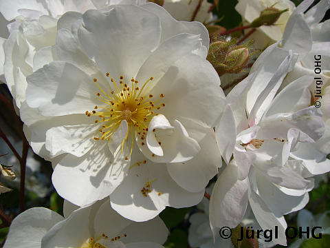 Rosa 'Bobby James'®, Rembler-, Kletterrose 'Bobby James'®