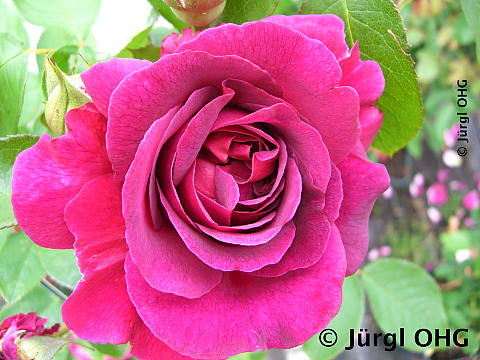 Rosa 'William Shakespear'®, Englische Rose 'William Shakespear'®