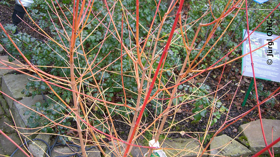 Cornus sanguinea 'Midwinter Fire', Roter Hartriegel 'Midwinter Fire'