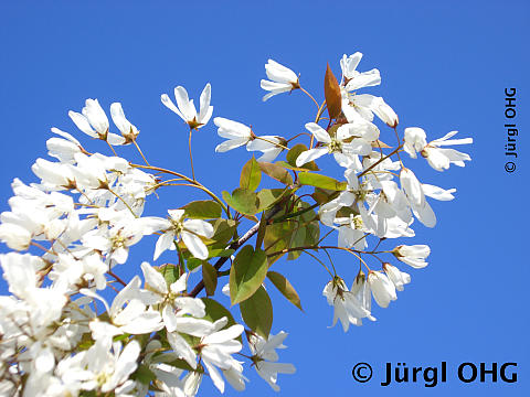 Amelanchier laevis 'Snow Cloud', Felsenbirne 'Snow Cloud'