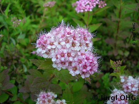Spiraea japonica 'Little Princess', Rosa Zwergspiere 'Little Princess'