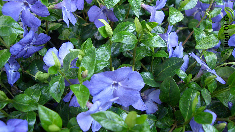 Vinca minor 'Bowles Variety', Immergrün