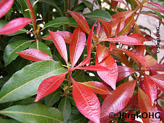 Pieris japonica 'Mountain Fire', Japanisches Schattenglöckchen 'Mountain Fire'