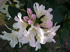 Rhododendron Hybride 'Cunningham's White', Rhododendron 'Cunningham's White'