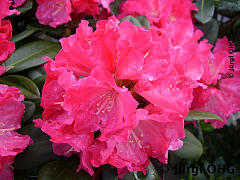 Rhododendron yakushimanum 'Morgenrot', Rhododendron 'Morgenrot'