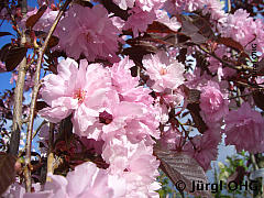 Prunus serrulata 'Royal Burgundy'®, Japanische Nelkenkirsche 'Royal Burgundy'®